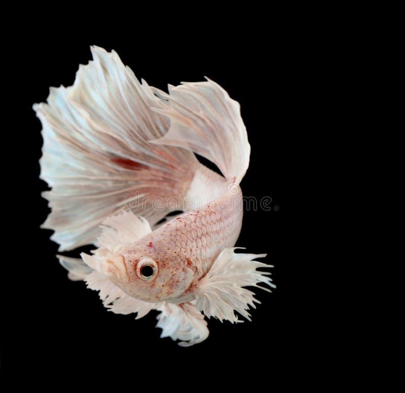 Peixes de combate Siamese imagem de stock