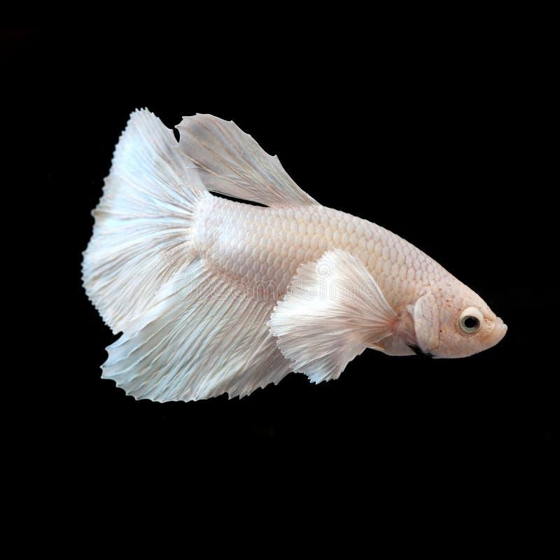 Peixes de combate Siamese foto de stock