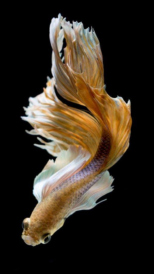 Peixes de combate siamese amarelos e brancos, peixes do betta isolados em b imagens de stock