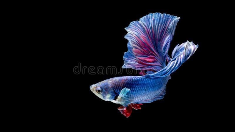 Peixes de combate siamese azuis e vermelhos, peixes do betta isolados no preto fotos de stock