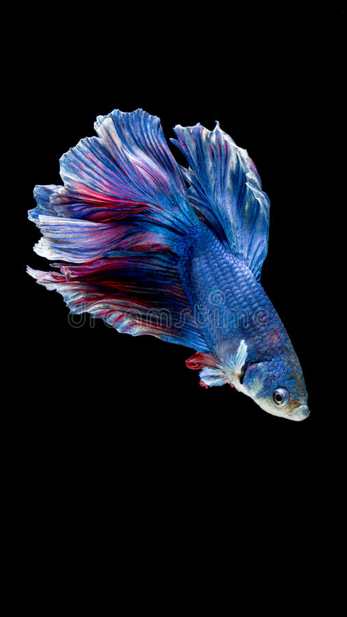 Peixes de combate siamese azuis e vermelhos, peixes do betta isolados no preto imagem de stock
