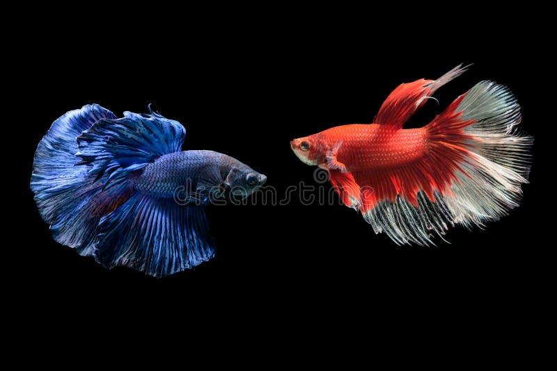 Peixes de combate siamese azuis e vermelhos, splendens do betta imagens de stock