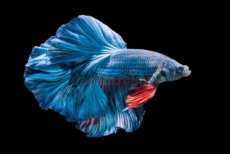 Peixes de combate siamese azuis, splendens do betta isolados fotos de stock