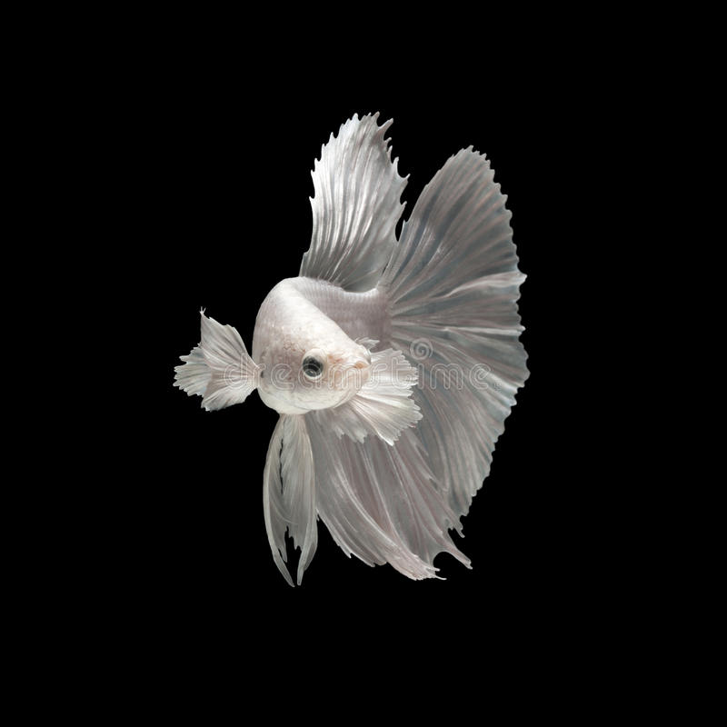 Peixes de combate siamese brancos foto de stock
