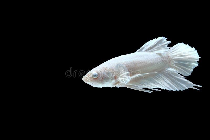 Peixes de combate Siamese da meia lua branca foto de stock