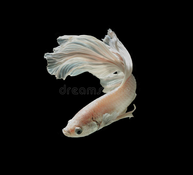 Peixes de combate Siamese da platina branca de Platt Fighti siamese branco fotos de stock