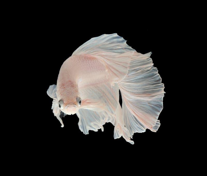 Peixes de combate Siamese da platina branca de Platt Fighti siamese branco foto de stock