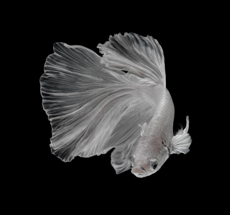 Peixes de combate Siamese da platina branca de Platt Fighti siamese branco fotos de stock royalty free