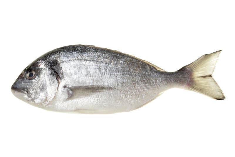 Peixes de Dorada imagem de stock