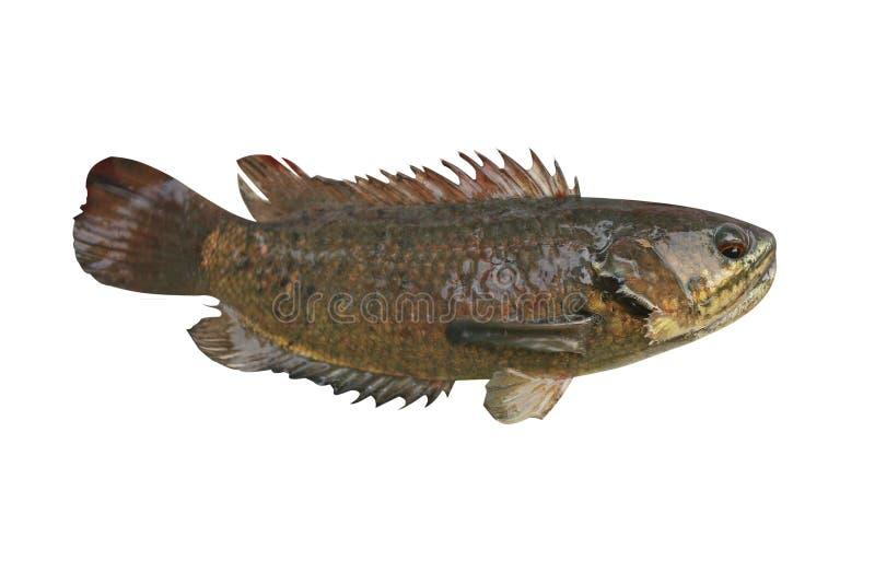 Peixes de escalada da vara, peixes de água doce isolados no fundo branco fotografia de stock royalty free