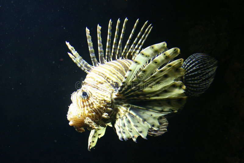 Peixes de escorpião fotos de stock royalty free
