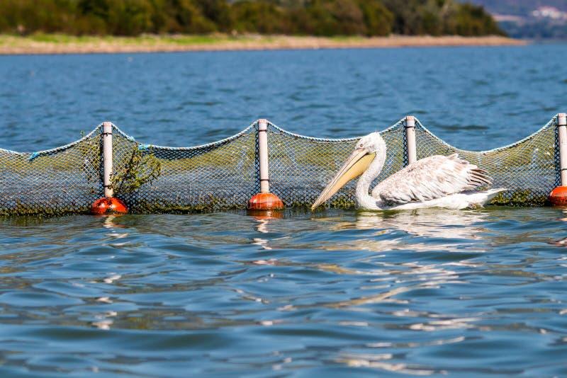 Peixes de espera do pelicano Dalmatian ao lado da rede de pesca no lago Kerkini, Grécia fotos de stock royalty free