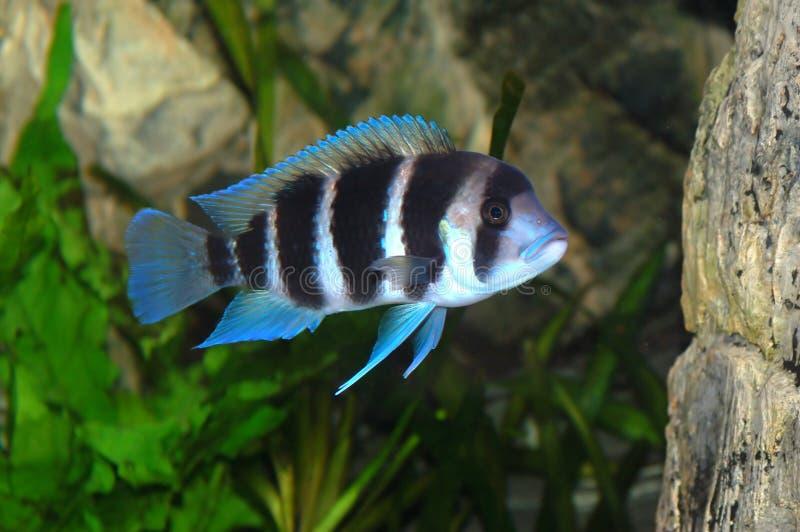Peixes de Frontosa no aquário imagens de stock royalty free