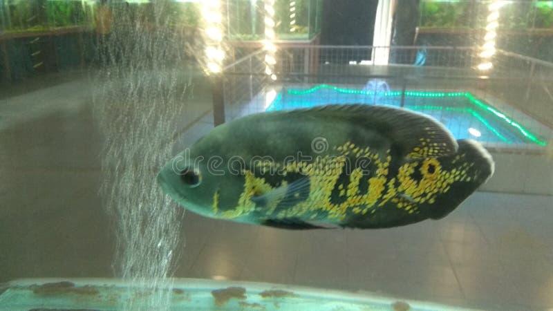 Peixes de Gaint Oscar imagens de stock