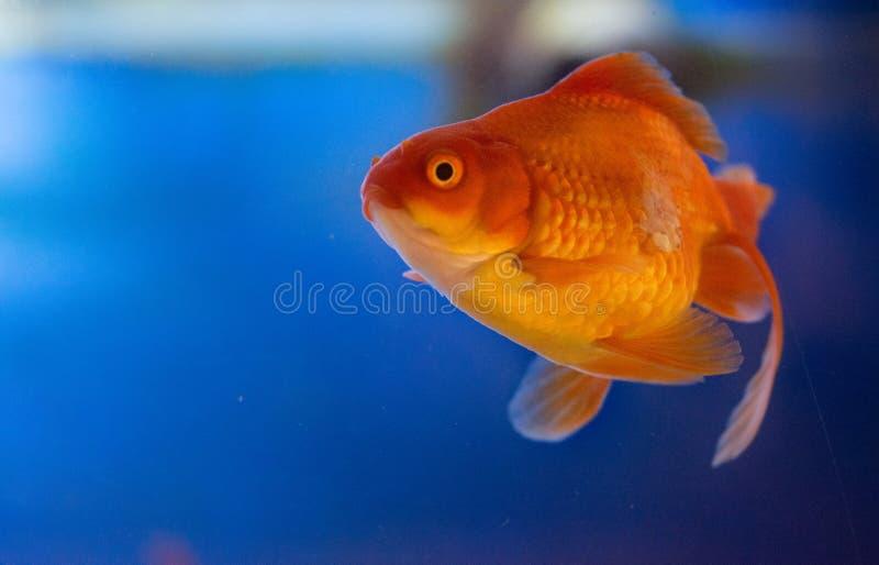Peixes de ?gua doce do aqu?rio, peixe dourado de ?sia no aqu?rio, auratus do carassius imagens de stock
