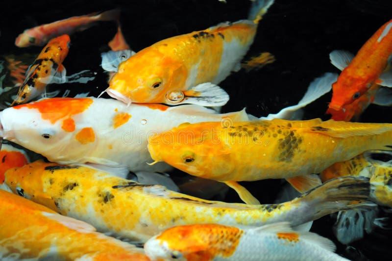 Peixes de Koi imagens de stock