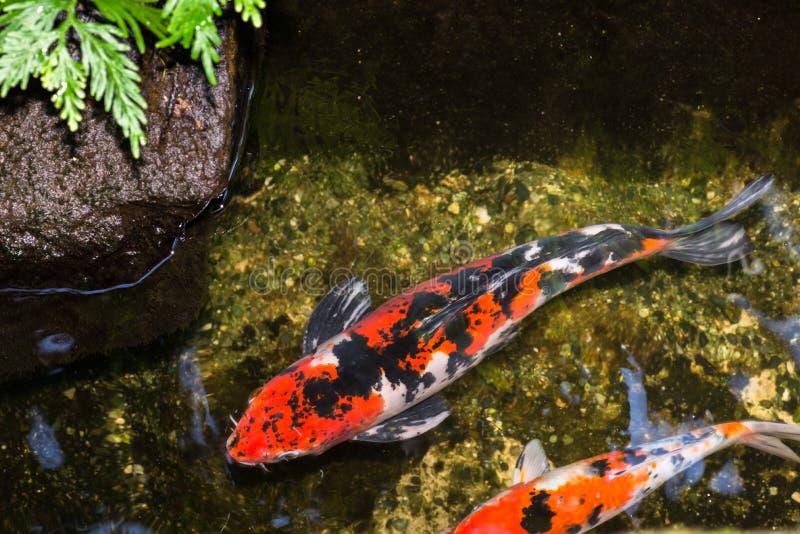 Peixes de Koi em um fim da lagoa acima imagens de stock royalty free