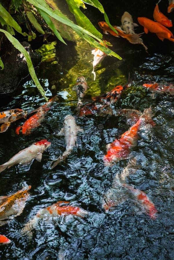 Peixes de Koi em uma lagoa imagens de stock