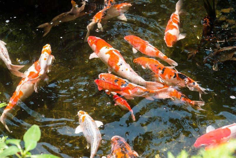 Peixes de Koi em uma lagoa imagem de stock royalty free