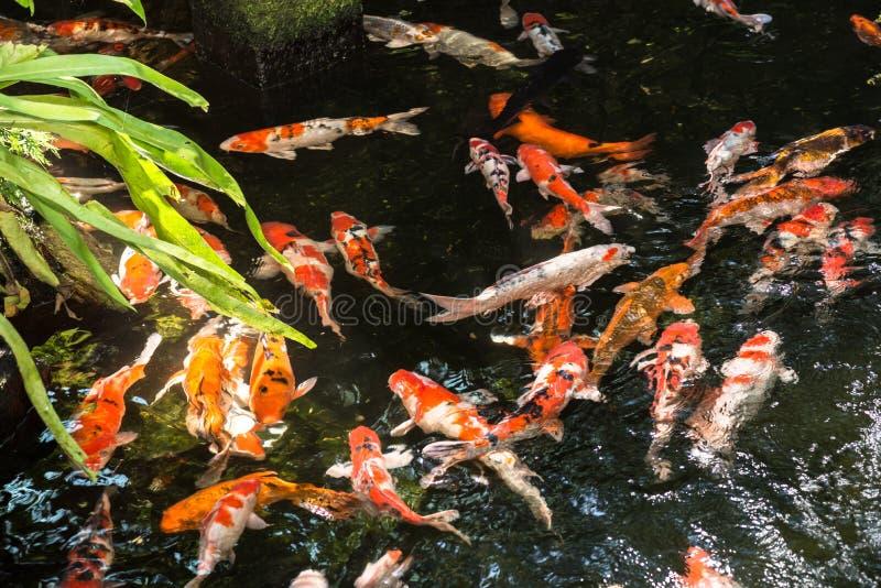 Peixes de Koi em uma lagoa imagens de stock royalty free