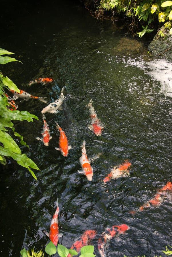 Peixes de Koi em uma lagoa fotos de stock royalty free