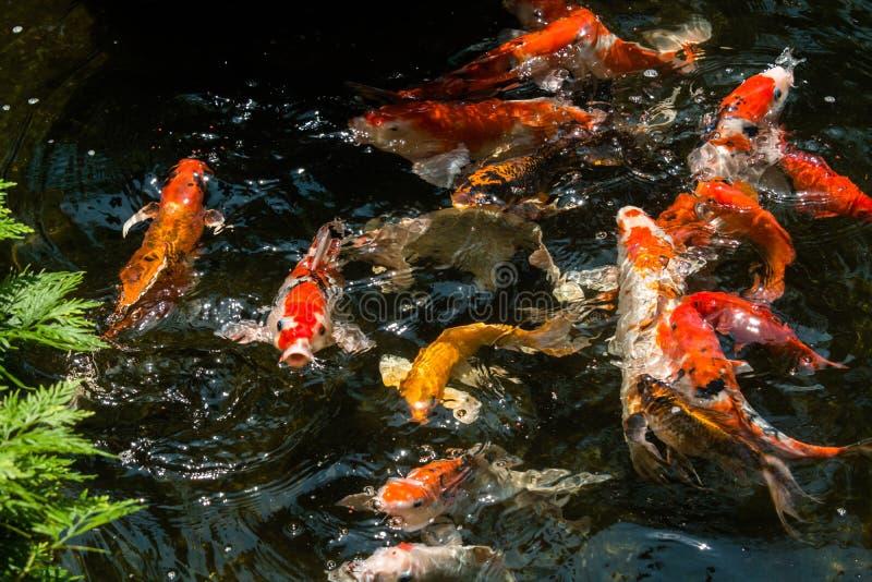 Peixes de Koi em uma lagoa que vai para suas alimentações imagem de stock