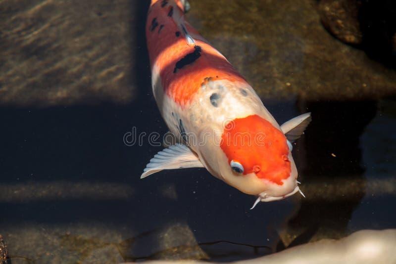 Peixes de Koi, haematopterus de carpio do Cyprinus imagem de stock royalty free