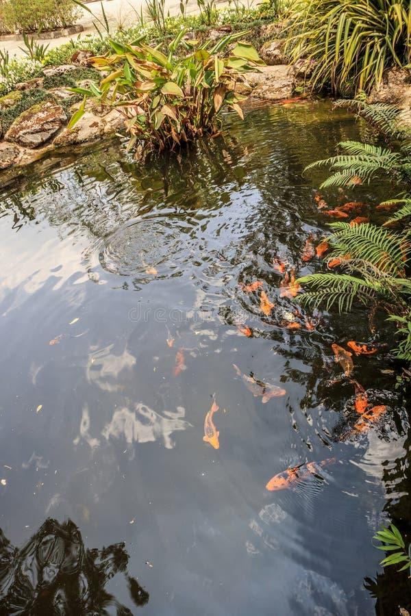 Peixes de Koi no projeto decorativo da paisagem da lagoa imagem de stock royalty free