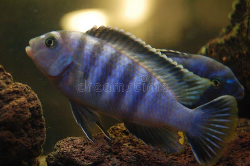 Peixes de Malawi imagem de stock royalty free