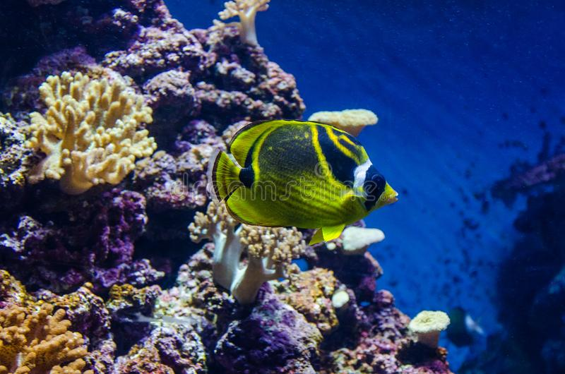Peixes de mar dos butterflyfish do guaxinim fotografia de stock