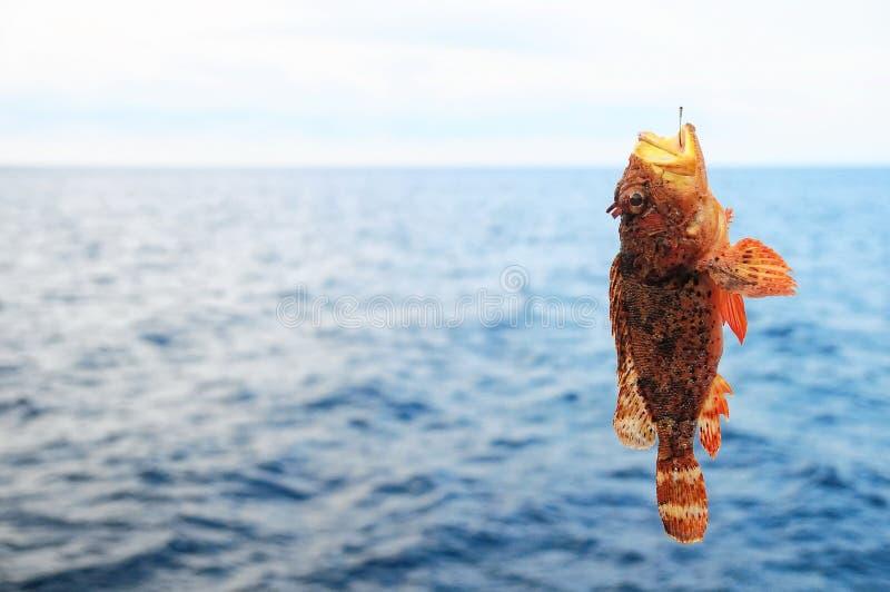 Peixes de mar vermelhos da rocha fotos de stock