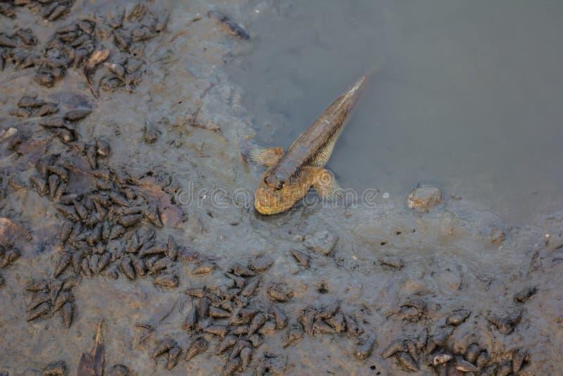 Peixes de Mudskipper imagem de stock royalty free