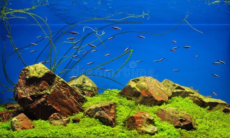 Peixes de néon no aquário de água doce foto de stock royalty free