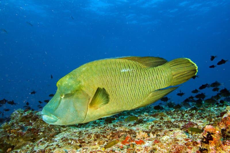 Peixes de Napoleon subaquáticos em Maldivas imagens de stock