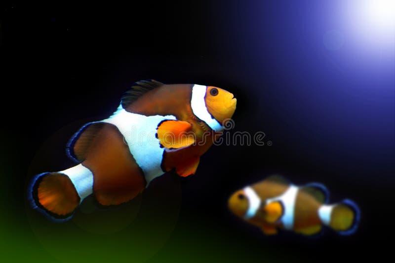 Peixes de Nemo fotografia de stock royalty free