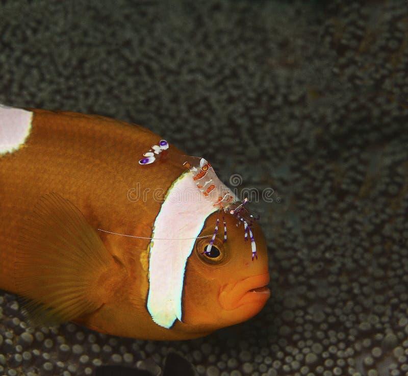 Peixes de Nemo ou peixes do palhaço com camarão da limpeza imagens de stock royalty free
