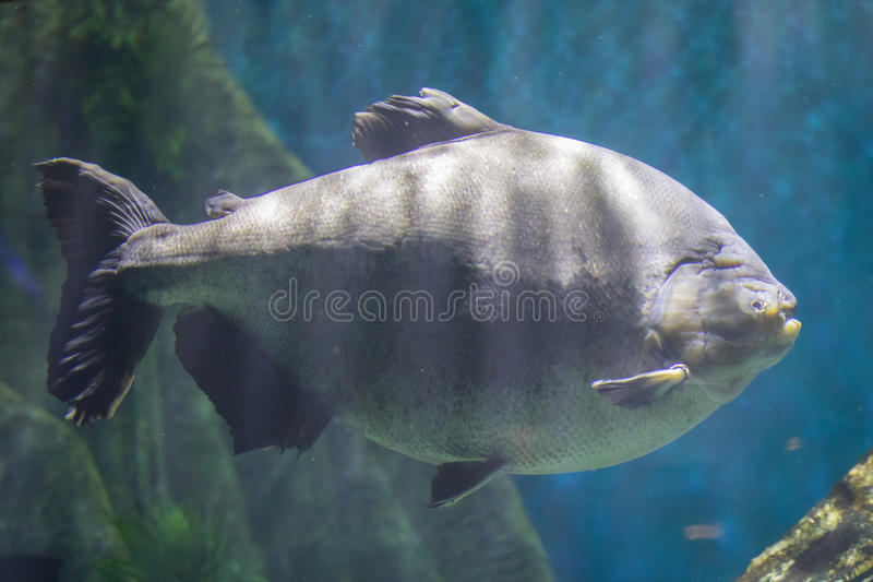 Peixes de Pacu fotos de stock