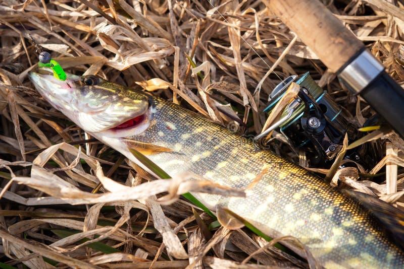 Peixes de Pike e gerencio na grama amarela na costa do rio Trof?u da pesca Pique travado pescador imagens de stock