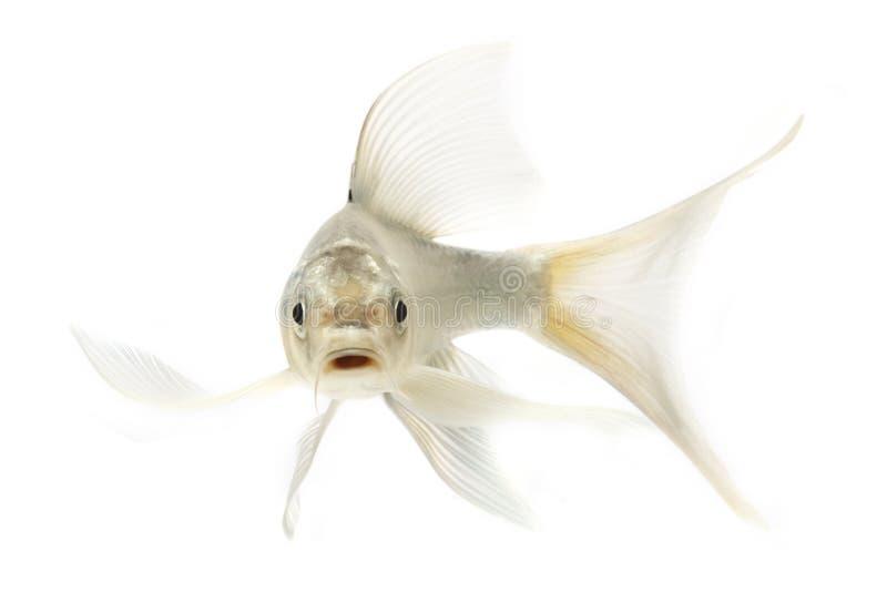 Peixes de prata de Koi fotografia de stock