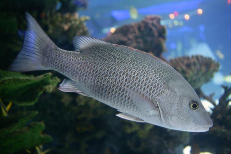 Peixes de saltwater bonitos da caranga com escalas cinzentas foto de stock royalty free