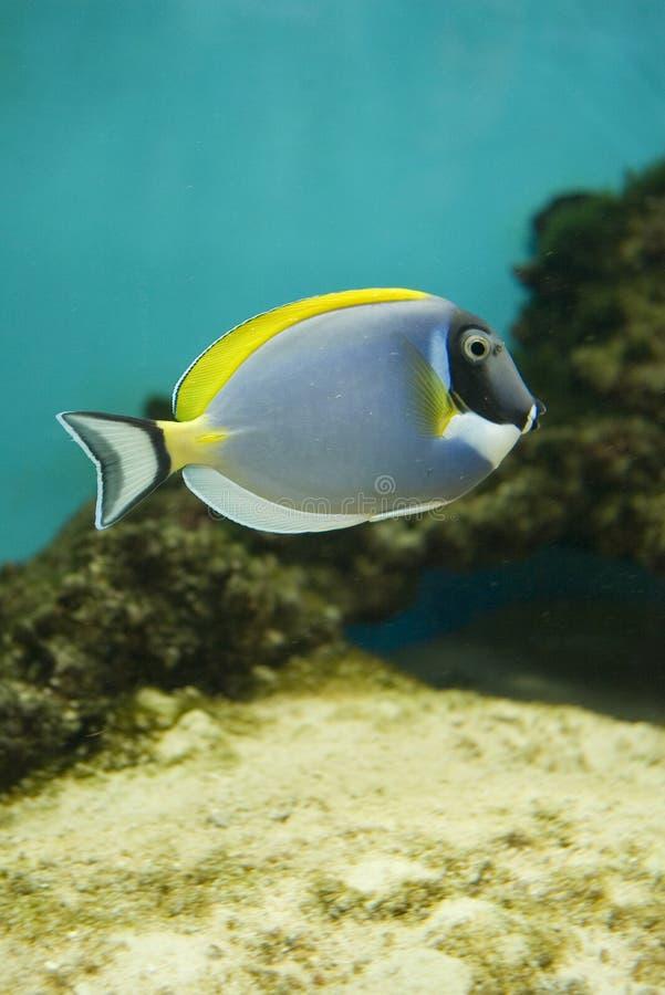 Peixes de saltwater - leucosternon do Acanthurus fotos de stock