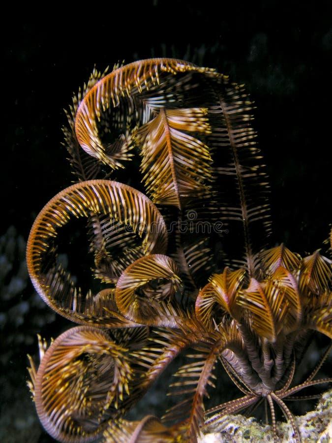 Peixes de Seastar do Mar Vermelho imagens de stock royalty free