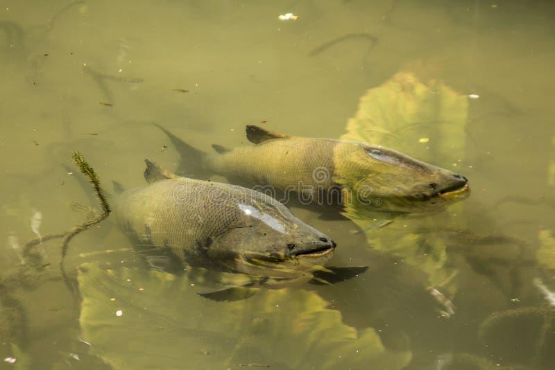 Peixes de Tambaqui em um lago fotografia de stock royalty free