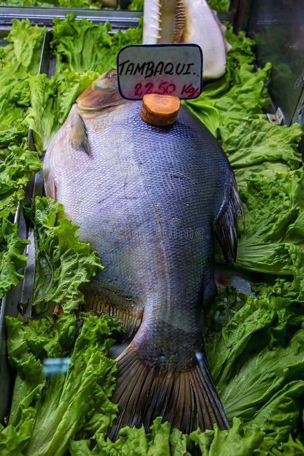 Peixes de Tambaqui no mercado municipal popular em Brasil fotos de stock royalty free