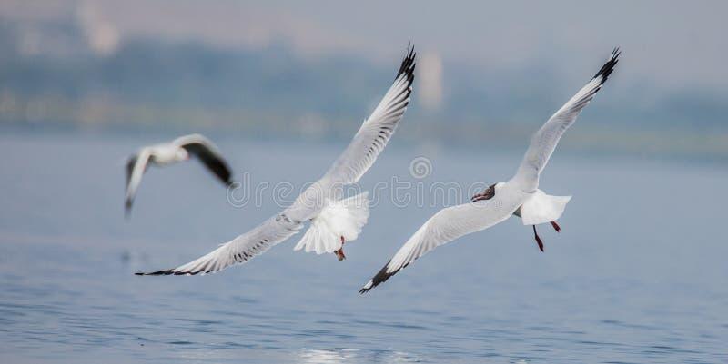 Peixes de travamento da gaivota de mar imagens de stock royalty free