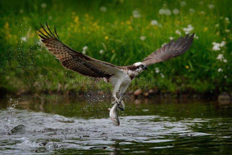 Peixes de travamento do OSPREY Águia pescadora do voo com peixes Cena da ação com a águia pescadora no habitat da água da naturez fotografia de stock