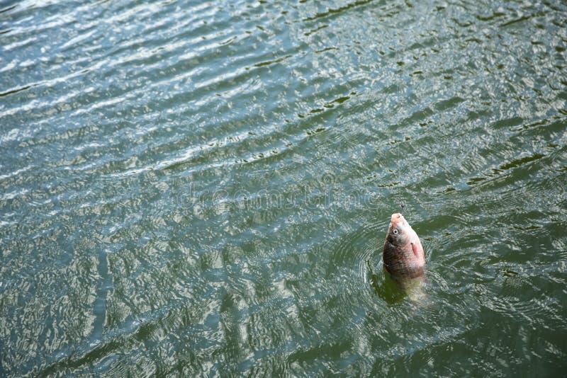 Peixes de travamento no gancho no rio fotos de stock