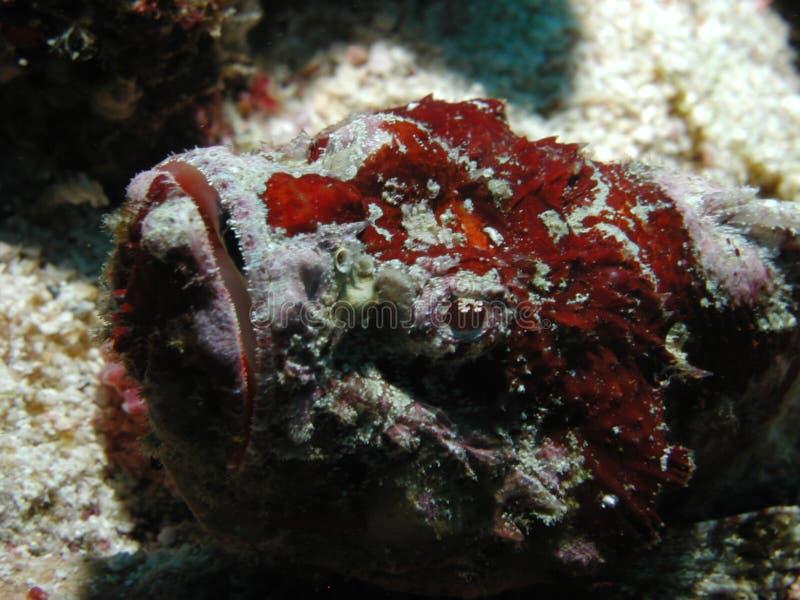 Peixes disfarçados como o coral fotografia de stock royalty free