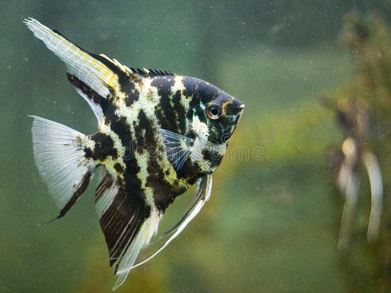 Peixes do anjo imagens de stock
