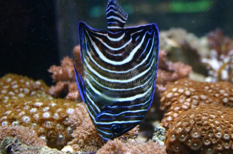 Peixes do anjo azul fotografia de stock